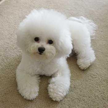 Бишон фризе (французская болонка): описание породы собак, советы по уходу и содержанию