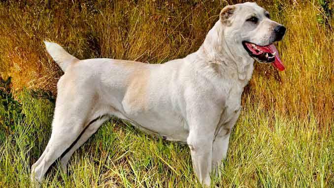 Алабай (среднеазиатская овчарка) – описание породы - Sobaky.Info