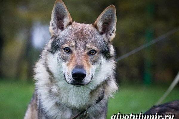 Волкособ: описание породы, характер собаки и щенка, фото, цена