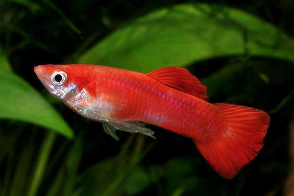 Барбусы: описание, виды, уход, содержание, кормление, размножение | AQUA-TROPICA.RU