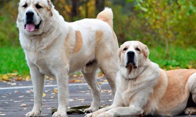 Каким размером вырастает собака алабай
