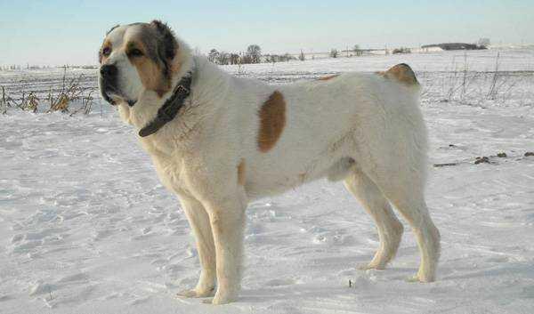 Самый большой алабай в мире Бульдозер, что за собака