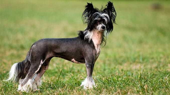 Китайская хохлатая🐕: купить щенка в Москве, цена - питомник «Суперминики»