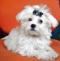 Мальтезе: описание породы собак от А до Я. Фото, советы по уходу, здоровье и болезни