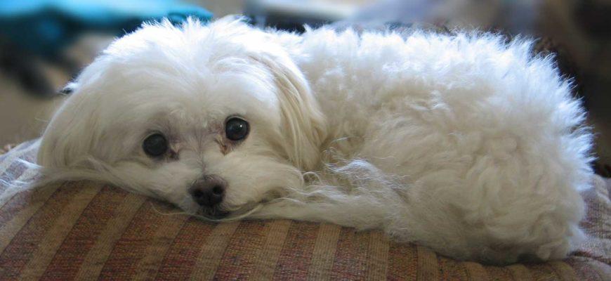 Мальтийская болонка: плюсы иминусы породы, характер идрессировка, выбор ицена щенка мальтезе, фото   отзывы