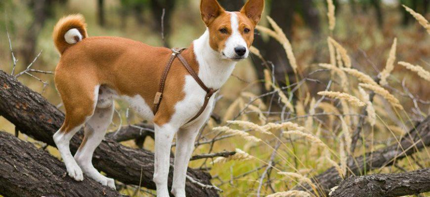 Собака Басенджи: описание породы, фото, цена щенков, отзывы