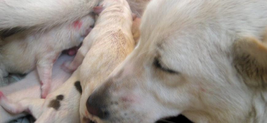 Беременность собаки по дням: подробно с картинками