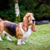 Бассет хаунд: описание британской породы собак, советы по уходу и содержанию -