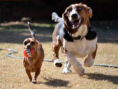 Бассет хаунд: описание британской породы собак, советы по уходу и содержанию