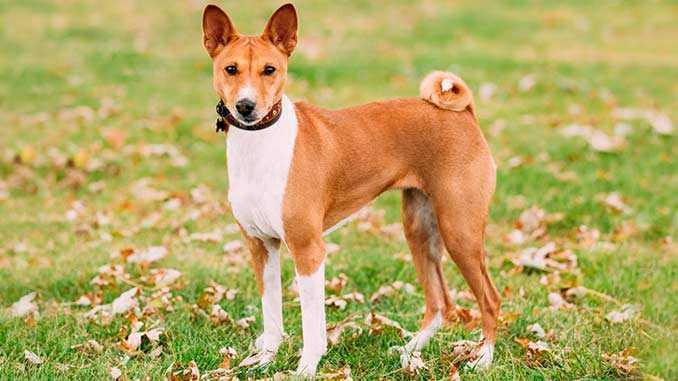 Описание породы басенджи: основные характеристики, внешний вид и характер собаки