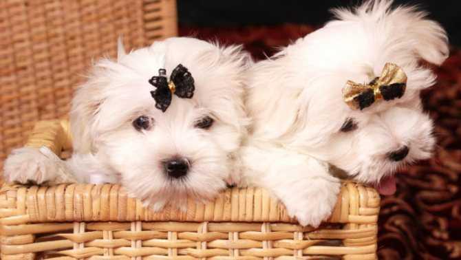 Клички для собак-девочек разных пород. Как назвать мальтезе? Клички для мальтийской болонки Что в имени твоём