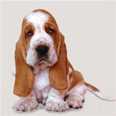 собаки реклама бассет а11