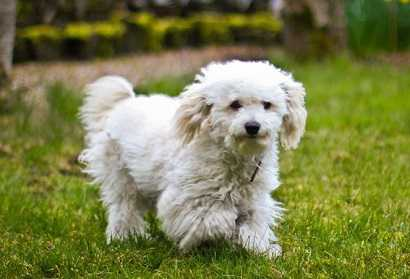 Бишон фризе: описание породы, характер собаки и щенка, фото, цена