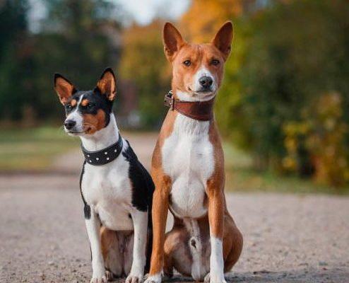 Басенджи - немая собака