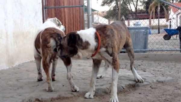 Как защититься от собаки: можно ли остановить её нападение и подавить агрессию?   Казанские ведомости