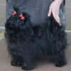 Русская цветная болонка — фото, описание породы собак, характер, отзывы