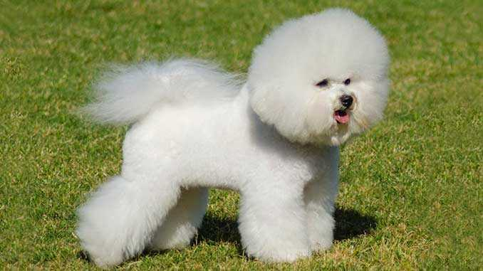 Порода собак Бишон фризе: описание, питание, уход, здоровье, характер, совместимость с человеком, дрессировка, фото, видео