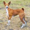 Басенджи – фото, описание породы, цена щенков