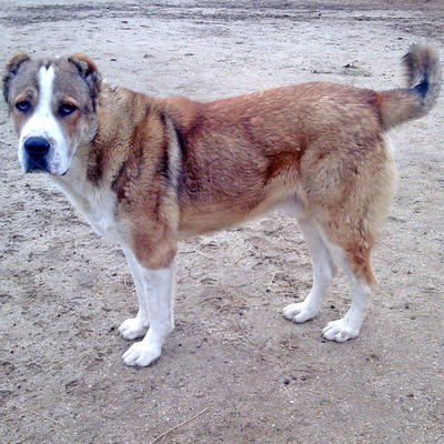 Породы собак / Непризнанные породы / Гурдбасар