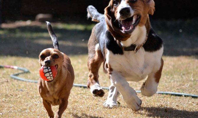 Чем кормить собаку породы бассет хаунд