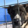 Какая собака победит алабая — Сайт эксперта по животным