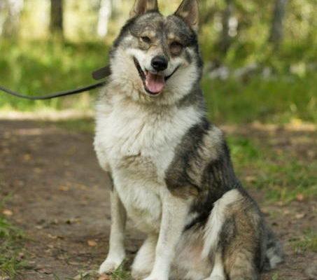Собаки лайки: фото лаек. Виды лаек: породы с описанием и фотографиями.