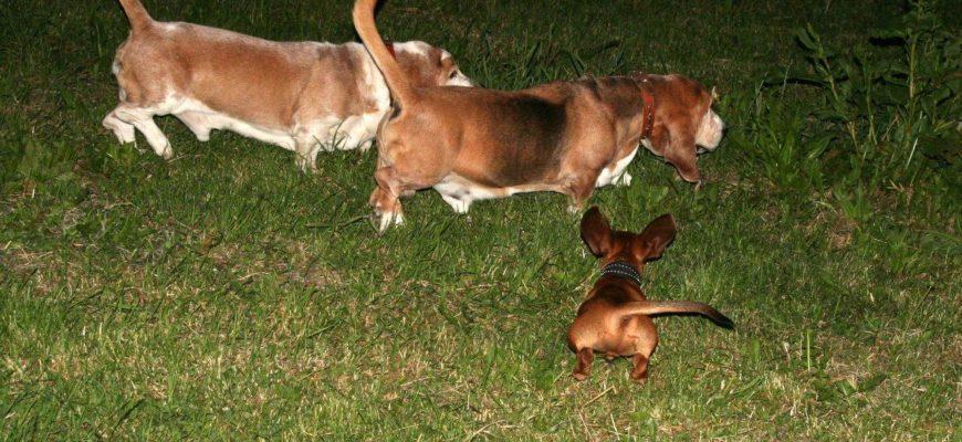 Бассет хаунд охотничья собака или нет