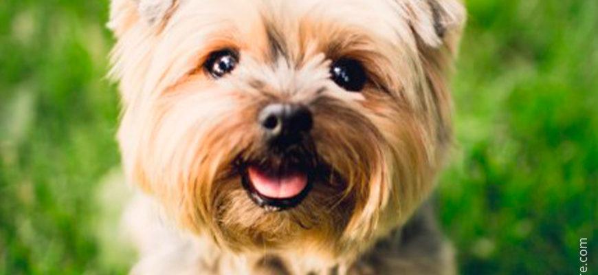 Болонка - Купить собак и щенков из питомника и частные объявления о продаже в Москве на КупиПродай