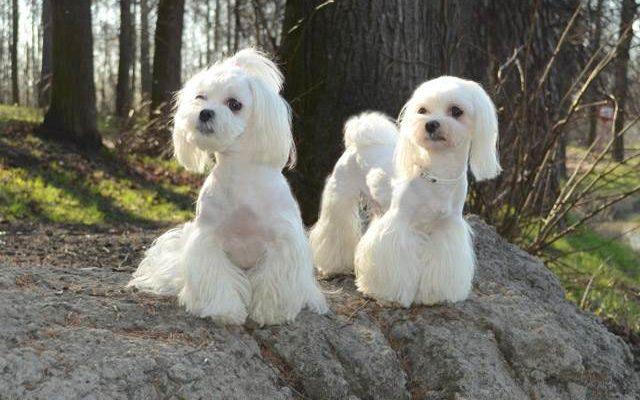 Как ухаживать за собакой мальтийская болонка * мальтезе - подробная инструкция