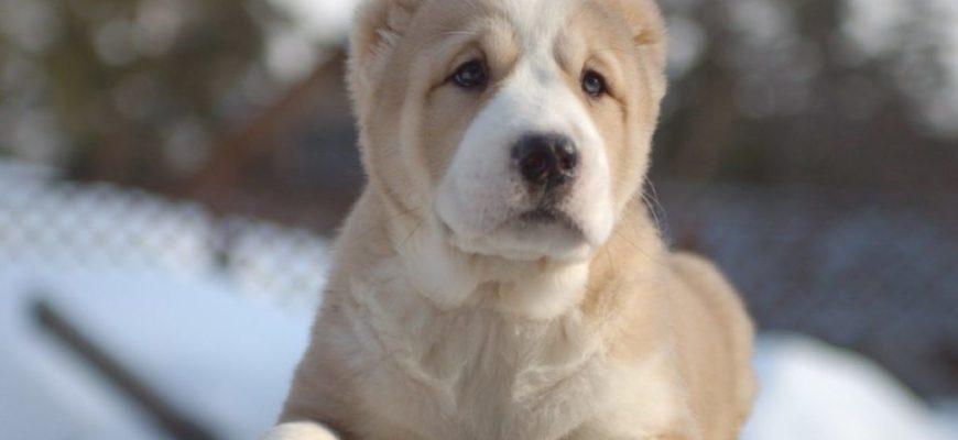 Щенки алабая: фото и описание. Вес и рост щенка