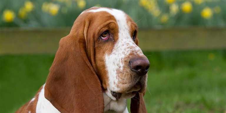 Бассет-хаунд — описание породы, характер собак, фото и видео