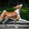 Басенджи: описание породы, характер собаки и щенка, фото, цена