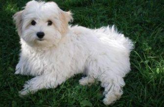 Болоньез собака или итальянская болонка: 125 фото содержания итальянской собачки