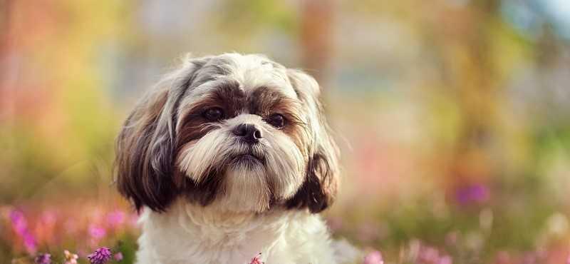 Мальтезе мини и стандарт разница: черная собака йорк и мальтийская болонка, бишон фризе кого выбрать, йоркширский терьер, ши тцу отличия