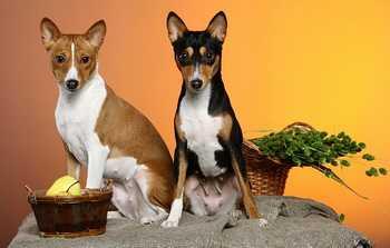 Африканский молчун - питомник собак породы басенджи - kormlenie