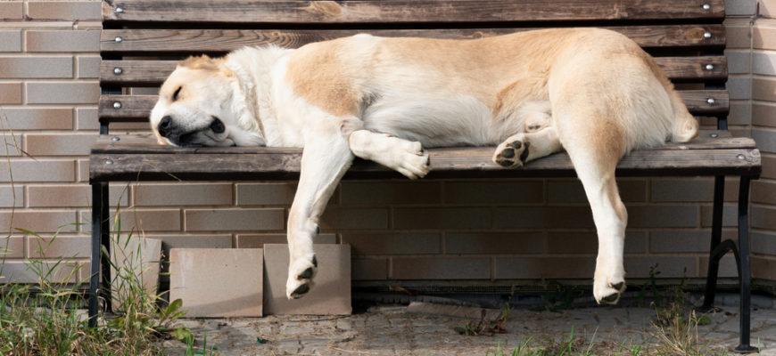 Правила ухода за породой собак алабай