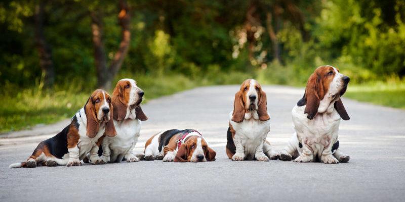 Как воспитывать щенка бассет хаунда