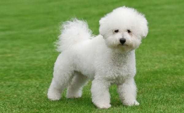 Бишон фризе (французская болонка) — фото, описание породы, особенности собаки