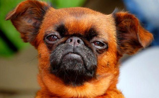 Пти-брабансон: описание декоративной породы собак, советы по уходу и содержанию