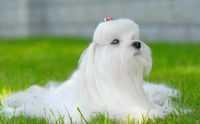Шампунь для мальтезе и йоркширских терьеров PSH Professional Groomers - PSH Professional Groomers - профессиональная косметика для собак из Испании.