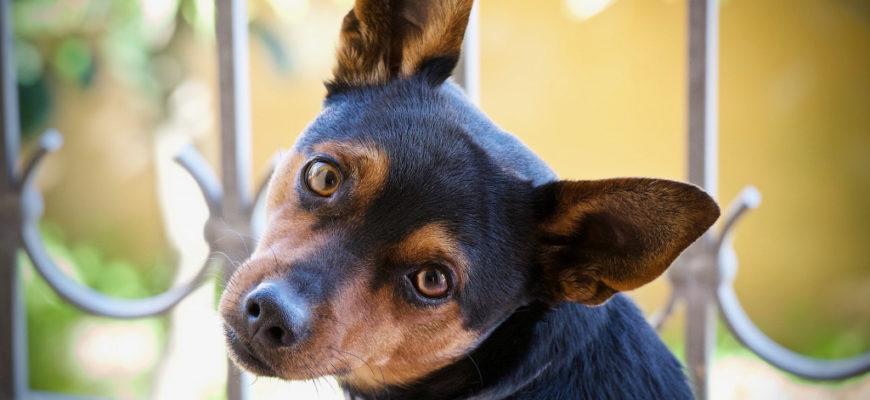 Как почистить уши собаке в домашних условиях     - отвечает  ветврач