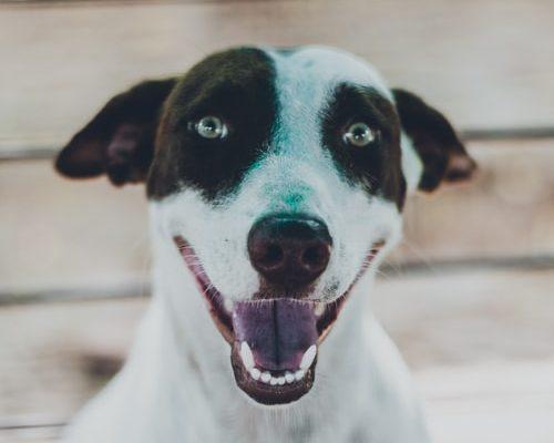 Смена зубов у собак: рекомендации ветспециалистов    Ветеринарная служба Владимирской области