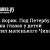 Алабай разорвал йоркширского терьера в Новом Девяткино стало известно 10 июня 2021 г. - Происшествия - Новости Санкт-Петербурга - Фонтанка.Ру