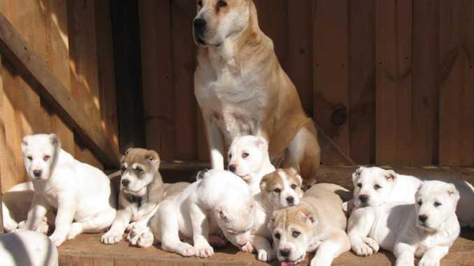 Беременность у собак признаки алабай