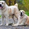 Как выбрать щенка алабая правильно: инструкция с видео
