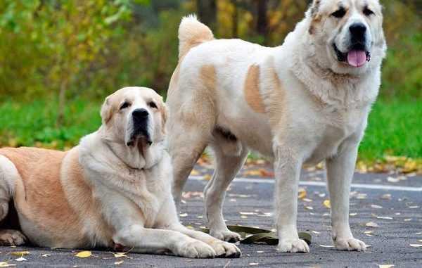 Азиаты порода собак течка — Сайт эксперта по животным