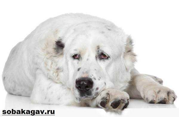 Какую температуру выдерживает собака алабай