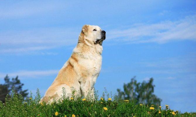 Почему алабай — идеальная собака для загородной жизни? Среднеазиатская овчарка. Особенности породы. Фото