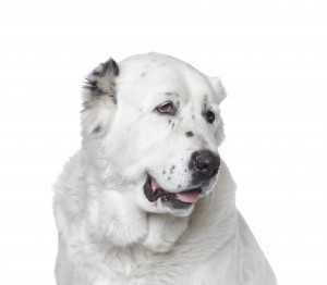 Алабай, или среднеазиатская овчарка (фото) – гордый пес и бесстрашный защитник