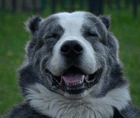 40 фотографий аляскинских маламутов, которые поднимут вам настроение